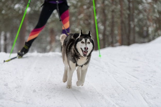 Husky schlittenhunde team im geschirr laufen und ziehen hundefahrer. schlittenhunderennen. wintersport-meisterschaftswettbewerb.
