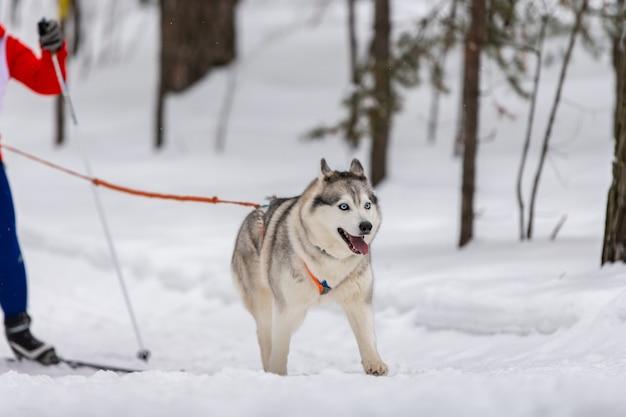 Husky schlittenhunde team im geschirr laufen und ziehen hundefahrer