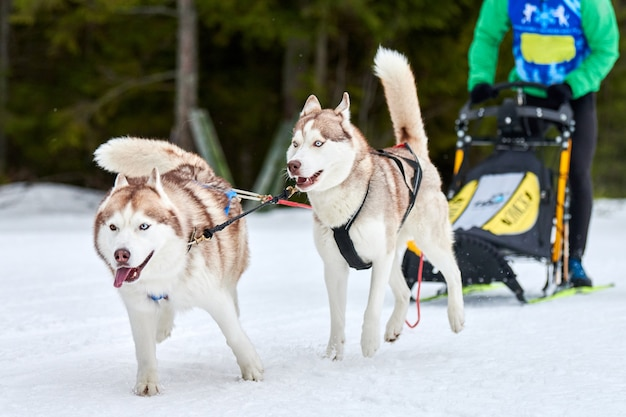 Husky schlittenhunderennen im winter im winter