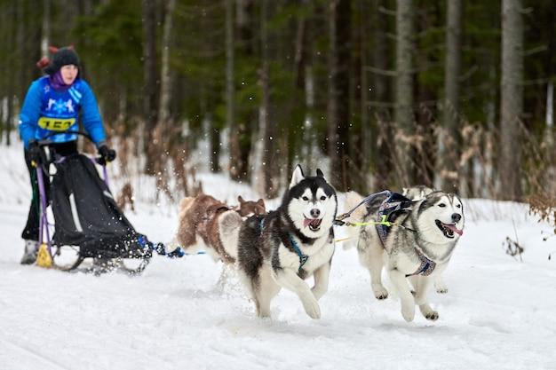 Husky schlittenhunderennen im winter