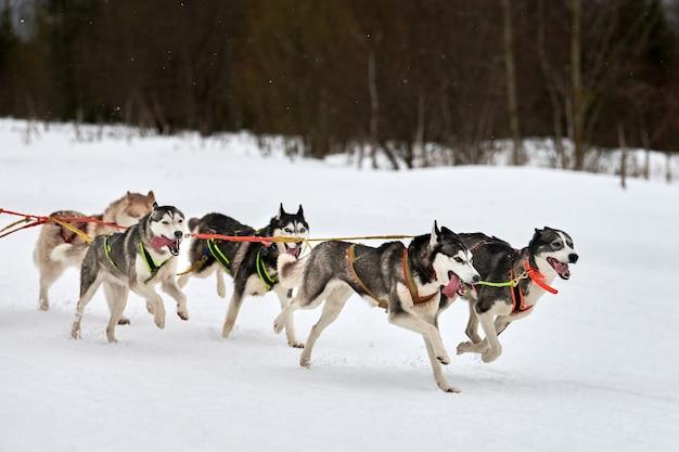 Husky schlittenhunderennen