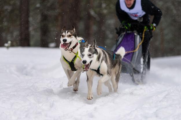 Husky schlittenhundeteam im geschirr laufen und hundefahrer ziehen. schlittenhunderennen. wintersport-meisterschaftswettbewerb.
