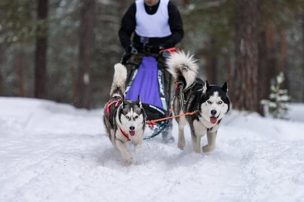 Husky schlittenhundeteam im geschirr laufen und hundefahrer ziehen