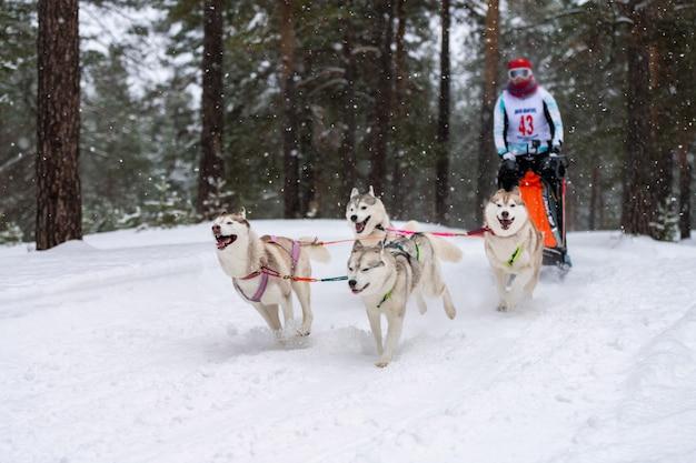 Husky schlittenhundeteam zieht einen schlitten mit hundemusher. winterwettbewerb.