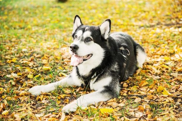 Husky-schwarzweiss-hund, der auf gelb liegt, verlässt in einem park. herbst