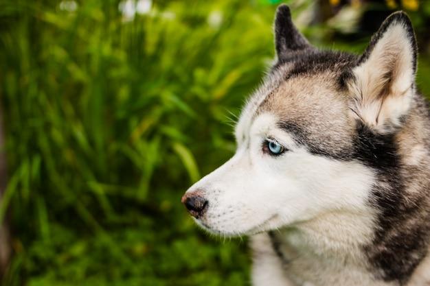 Husky tummelt sich in der wilden natur.