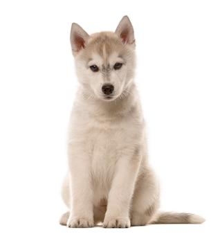 Husky welpe sitzt vor einer weißen wand