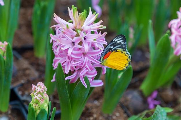 Hyacinth flower und schmetterling im garten