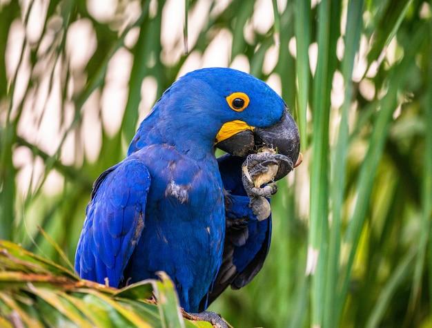 Hyacinth macaw sitzt auf einer palme und isst nüsse