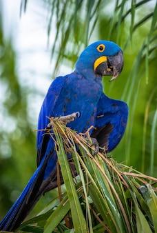 Hyacinth macaw sitzt auf einer palme