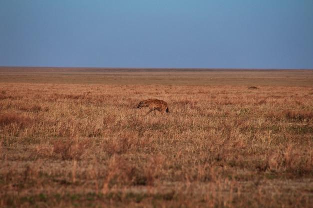 Hyäne auf safari in kenia und tansania, afrika