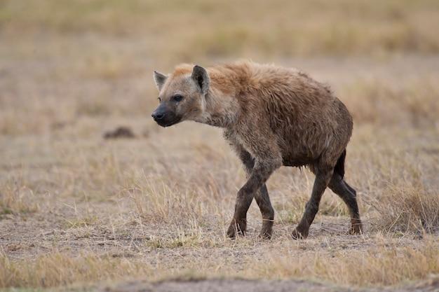 Hyäne, die in die savanne geht