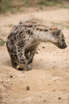 Hyäne im sand