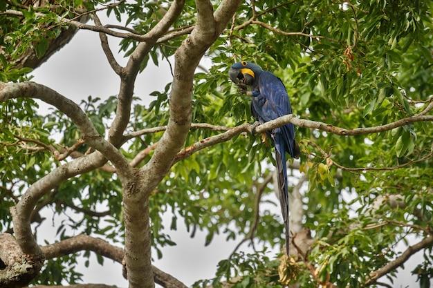 Hyazinth-ara auf einer palme im naturlebensraum