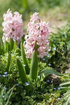 Hyazinthe in der blüte, die im gartenabschluß aufwächst