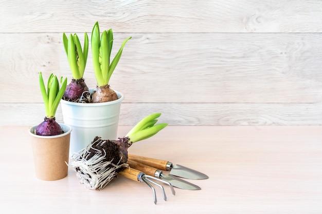 Hyazinthenblume in papiertöpfen und gartenwerkzeugen auf holzwand. frühlingsgartenmauer, hyazinthe pflanzend. osterwand, frühlingskonzept
