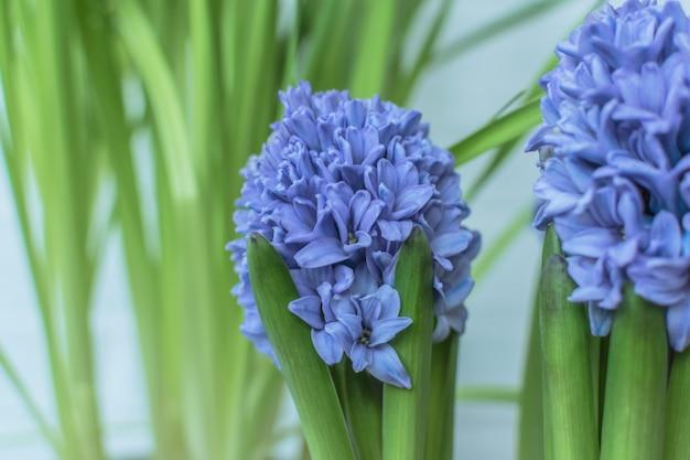 Hyazinthenblumen in einem frischen hintergrund
