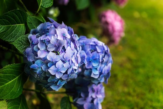 Hydrangea-blumen im garten