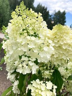 Hydrangea paniculata eine pflanzenart der gattung hydrangea der familie hydrangeaceaeaceae