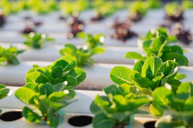 Hydrokultur, organisches frisches geerntetes gemüse, landwirte, die mit organischem wasserkulturgemüsegarten am gewächshaus arbeiten.