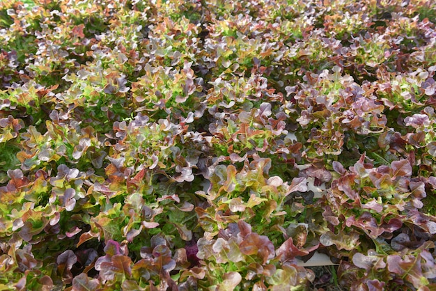 Hydroponische bauernhofsalatpflanzen auf wasser ohne bodenlandwirtschaft im gewächshaus bio-gemüsehydroponiksystem junger und frischer salat aus rotem eichen-salat wachsen