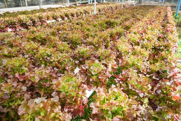 Hydroponische bauernhofsalatpflanzen auf wasser ohne bodenlandwirtschaft im gewächshaus-bio-gemüsehydroponiksystem junger und frischer salat aus roter eiche