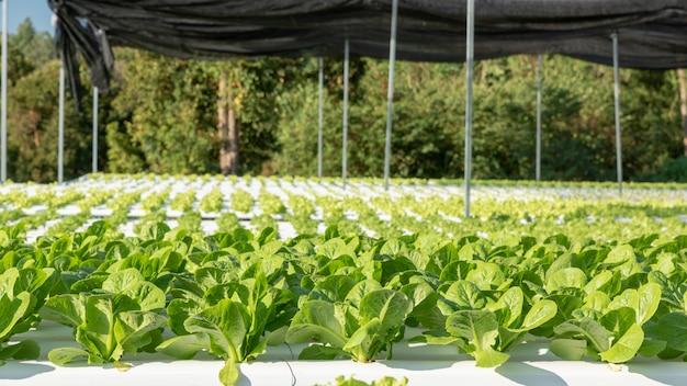Hydroponische plantage mit grünem salatgemüse auf dem bauernhof