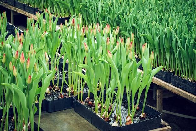 Hydroponischer tulpenanbau in speziellen behältern in einem industriellen gewächshaus