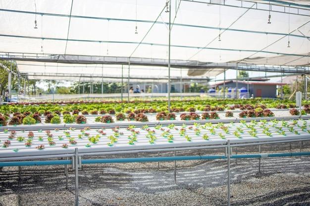 Hydropronische gemüsegewächshäuser bauen frische rohstoffe an