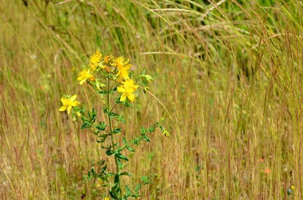 Hypericum perforatum, bekannt als perforierte johanniskraut, ist eine weit verbreitete heilpflanze