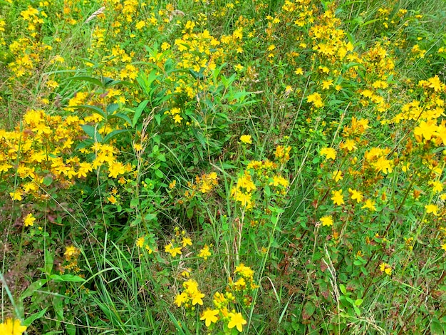 Hypericum perforatum wächst auf feld- und heilpflanzen.