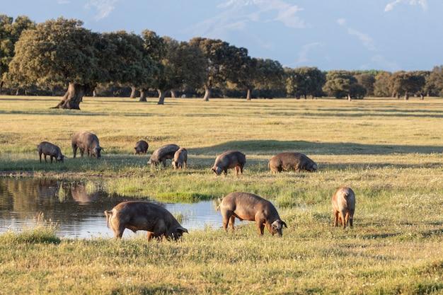 Iberische schweine, die auf dem land weiden lassen