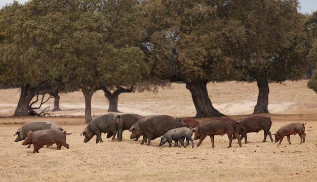 Iberische schweine, die unter den eichen weiden lassen