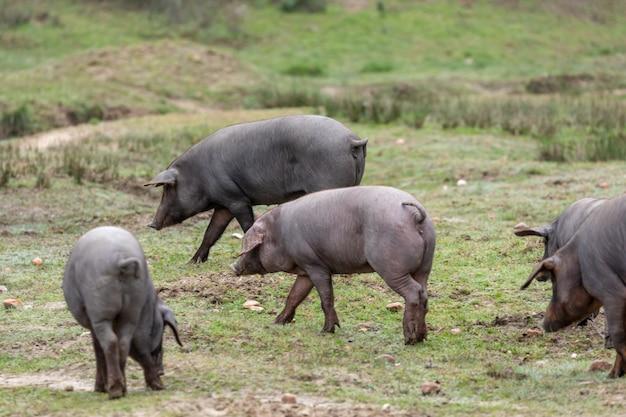 Iberische schweine grasen