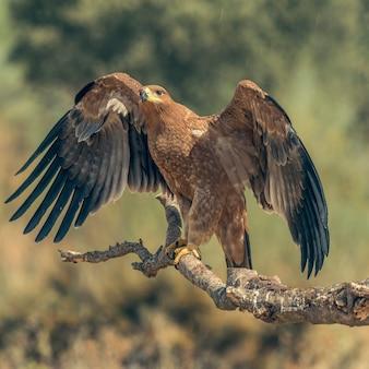 Iberischer kaiseradler auf einem ast mit offenen flügeln oder im flug