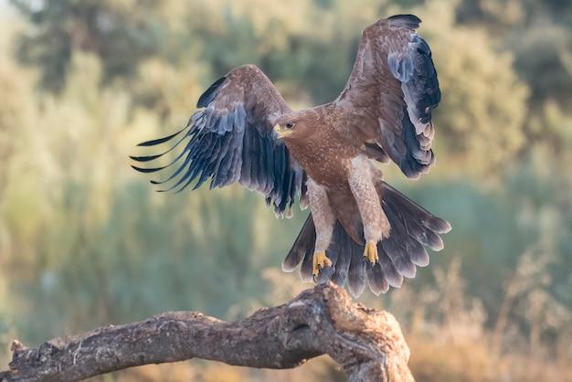 Iberischer kaiseradler im flug