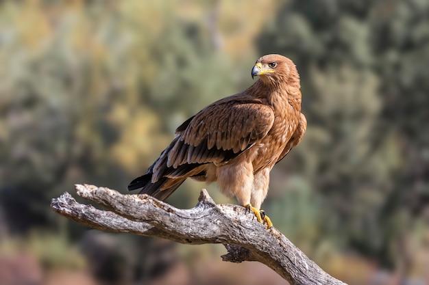 Iberischer kaiseradler in der natur