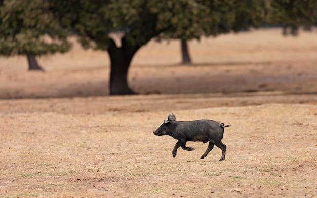 Iberischer schweinchen, der unter den eichen läuft