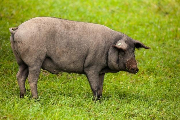 Iberisches schwein, das in der weide weiden lässt