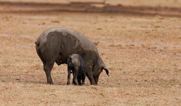 Iberisches schwein, das unter den eichen weiden lässt