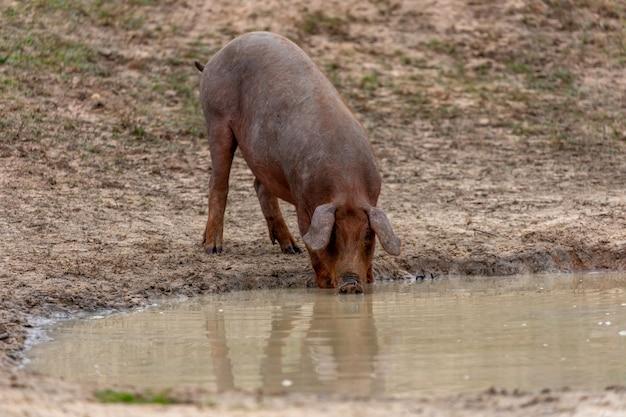 Iberisches schwein, das weiden lässt