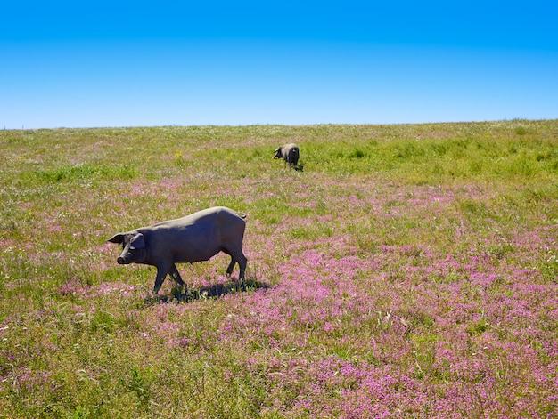 Iberisches schweinefleisch cerdo iberico in dehesa spanien