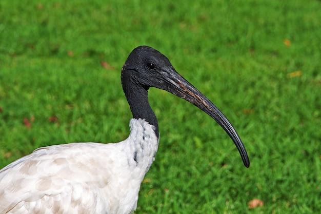 Ibis-vogel im hyde-park von sydney, australien