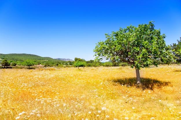 Ibiza-landwirtschaft mit feigenbaum und weizen
