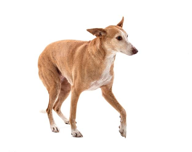 Ibizan hound im studio