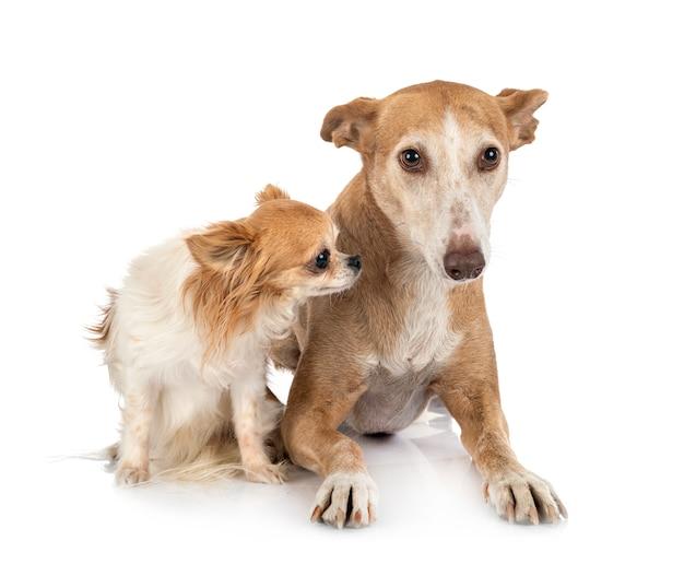 Ibizan hound und chihuahua