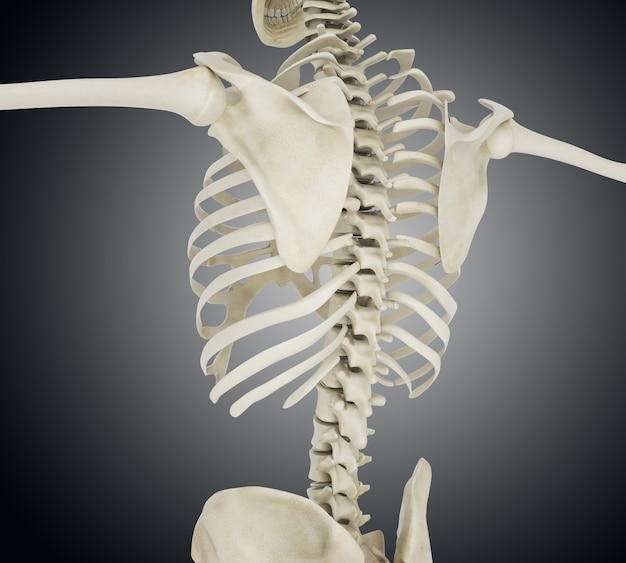 Illustration 3d der menschlichen skelettrückseite