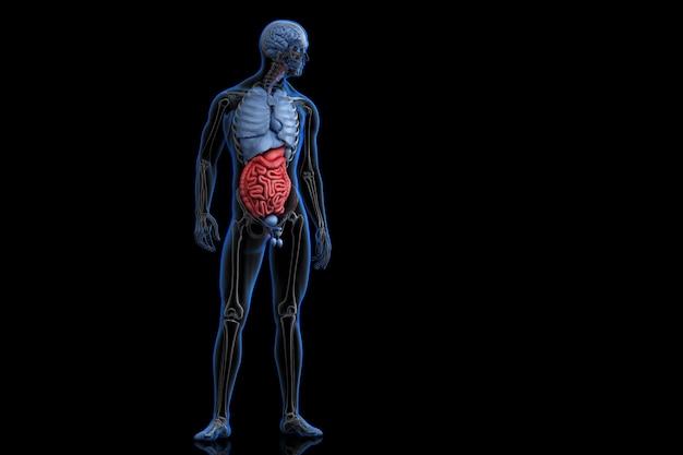 Illustration der menschlichen anatomie mit hervorgehobenem verdauungssystem. 3d-darstellung. beschneidungspfad enthält