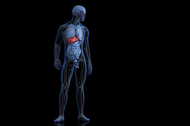 Illustration der menschlichen anatomie mit hervorgehobener leber