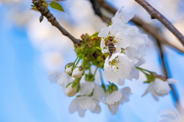 Im frühjahr bestäuben bienen die apfelblüte im garten.